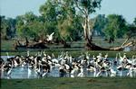 Image of water birds on a billabong in the Dry season