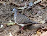 Bar-shouldered Dove, Darwin area