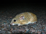 Central Short-tailed Mouse, Austral Downs