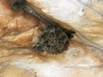 Northern Cave Bats, Red Cone Creek