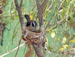 White-browed Robin on nest, Lawn Hill