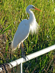 Intermediate Egret in breeding plumage, Yellow Water