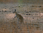 Northern Nailtail Wallaby, Auvergne Station
