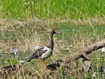 Magpie Goose, Yellow Waters