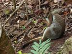 Short-eared Rock-wallaby, Florence Falls