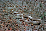 Ingram's Brown Snake, Barkly Tableland