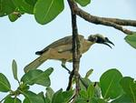 Silver-crowned Friarbird, Burrungguy